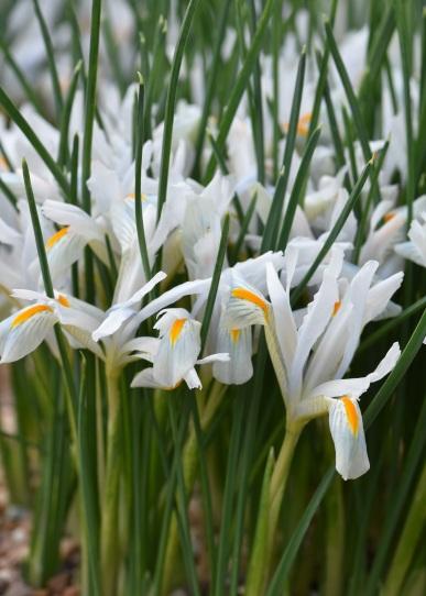 Iris reticulata Natascha
