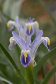 Iris warlyensis