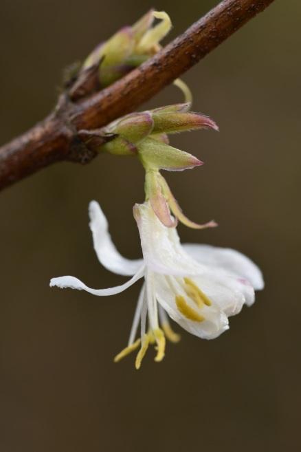 Lonicera x purpsii Spring Romance