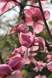Magnolia campielli