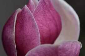 Magnolia soulageana Rustiqua Rubra