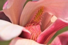 Magnolia sprengeri var Diva