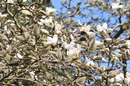 Magnolia stellate Royal Star
