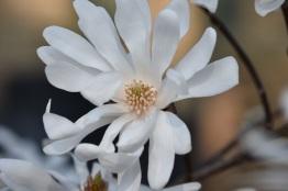 Magnolia stellata cultivar