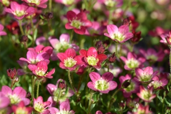 Saxifrage Touran Red