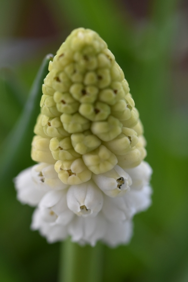 White Muscari