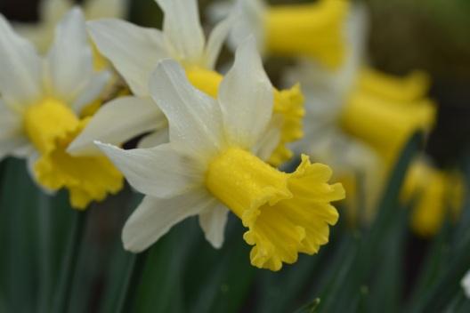 Narcissus Wisley