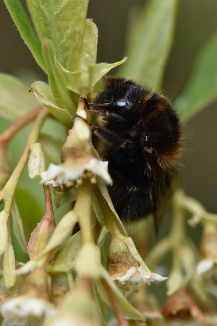 Oemerla cerasiformis and bee