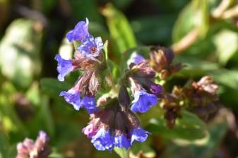 Pulmonaria angustifolia Lewis Palmer