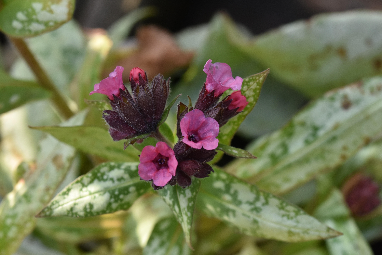 Pulmonaria Silver Bouquet The Teddington Gardener