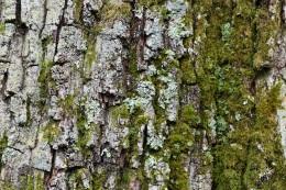 Quercus rober