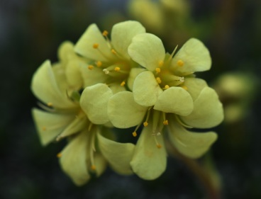 Saxifraga apiculata Gregor Mendel