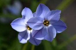 Ipheion uniflorum Rolf Fiedler
