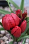 Tulipa pulchella Lilliput