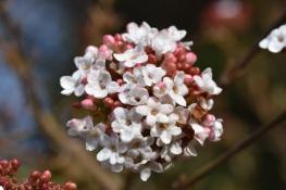 Viburnum x burkwoodii Anne Russell