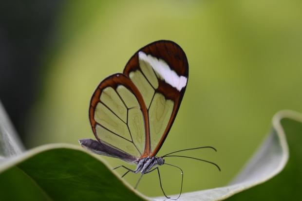 windowpane butterfly 2