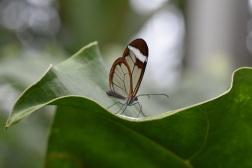 windowpane butterfly