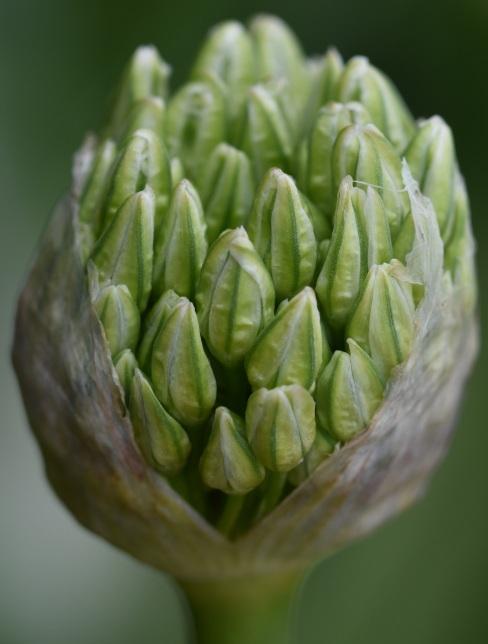 Allium in bud