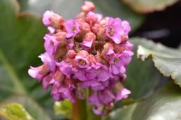 Bergenia cordifolia Purpurea
