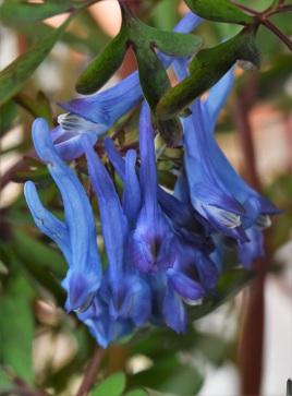 Corydalis China Blue