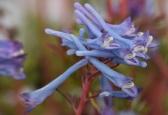 Clematis flexuosa Purple Stem