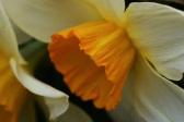 Narcissus Bravoure