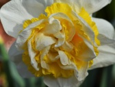 Narcissus Westwood