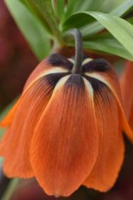 Fritillaria imperia Rubra Maxima