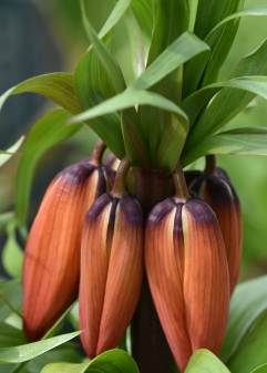Fritillaria William Rex