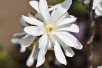 Magnolia stellata Centennial
