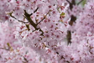 Prunus pendula var Ascendens Rosea