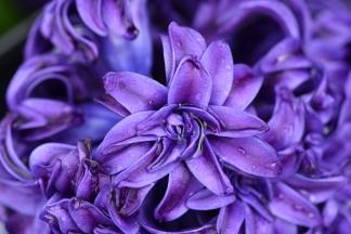 Hyacinthus orientalis Royal Navy