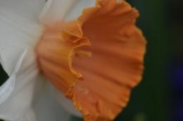 Narcissus Chromacolour