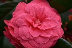 Camellia japonica C M Hovey