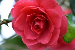 Camellia japonica Anna M Page