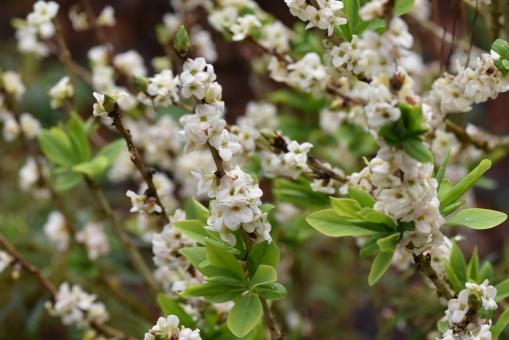 Daphne mezereum f alba