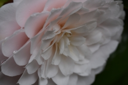 Camellia japonica Twilight