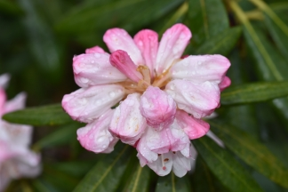 Rhododendron Queenswood Centenary
