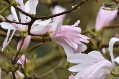 Magnolia stellata Jane Platt
