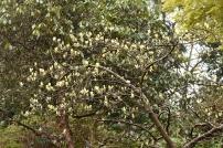 Magnolia Butterflies