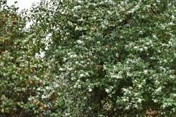 Osmanthus burkwoodii