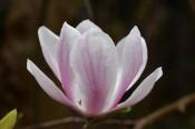 Magnolia x soulangeana Alexandrina