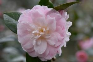 Camellia x williamsii Julia Hamiter