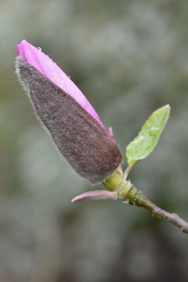 Magnolia Apollo