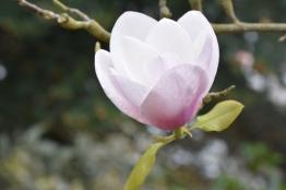 Magnolia Mily Way