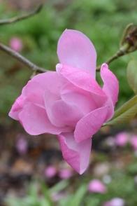 Magnolia sprengeri var diva Copeland Court