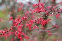 Acer japonicum Shin-deshojo