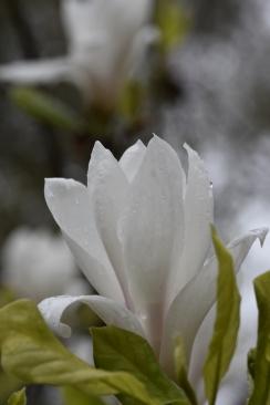 Magnolia x soulangeana Alba Superba