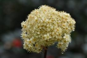 Sorbus megalocarpa