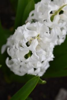 Hyacinth Aiolos